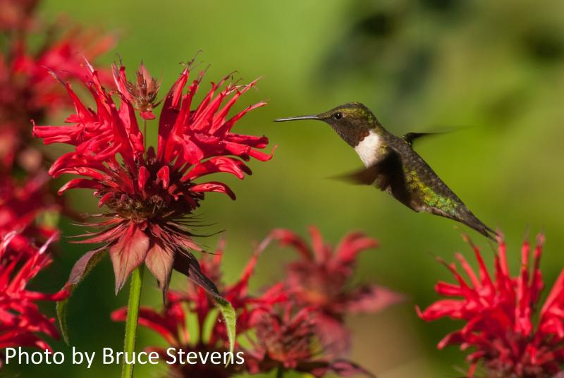 Ruby-throated Hummingbird (photo by Bruce Stevens owlandmarmot.ca)