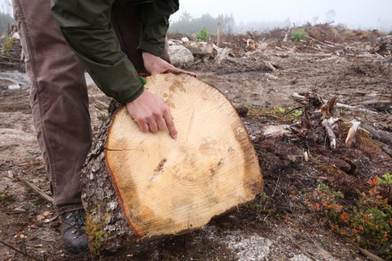 Forestry Coordinator Matt Miller with a section of a 120-year old red spruce that was cut during a recent clearcut in an Environmentally Sensitive Area identified in DNR's Western Crown Lands Plan. (Photo: Raymond Plourde)