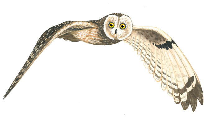 Barry the short eared owl